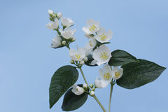 tła różnic kwiatów jaśminowy ładny sezonowy temat Obrazy Royalty Free