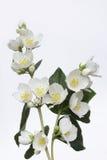 tła różnic kwiatów jaśminowy ładny sezonowy temat Fotografia Royalty Free
