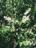 tła różnic kwiatów jaśminowy ładny sezonowy temat Obraz Royalty Free