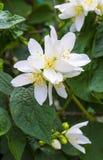 tła różnic kwiatów jaśminowy ładny sezonowy temat jaśminowi wiosna kwiaty Jaśmin Zdjęcia Stock