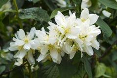 tła różnic kwiatów jaśminowy ładny sezonowy temat jaśminowi wiosna kwiaty Jaśmin Zdjęcie Royalty Free