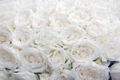 tła róży biel obrazy stock