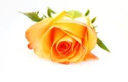 tła róży biel kolor żółty Zdjęcie Stock