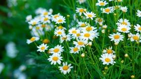 tła rumianku pola kwiatu zieleń Zdjęcia Royalty Free