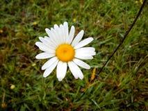 tła rumianku pola kwiatu zieleń Obraz Royalty Free