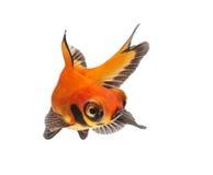 tła rybiego złota odosobniony biel Obraz Royalty Free