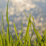 tła trawy miękkiej części lato Fotografia Royalty Free