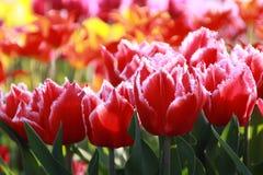 tła tulipanu dof niezwykle pola płytcy tulipany Zdjęcia Royalty Free