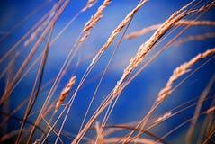 tła złoty błękitny uszaty Fotografia Royalty Free
