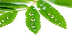 tła zakończenia zieleni liść w górę biel Obraz Stock
