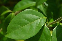 Tła 017 - zakończenie zielony liść Fotografia Stock