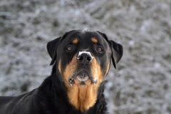 tła zamknięty portreta purebred rottweiler w górę biel Zdjęcie Royalty Free