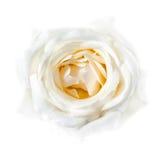 tła zbliżenie blaknący róży biel Obraz Stock