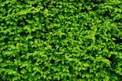 tła zieleni liść ściana zdjęcia royalty free