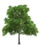 tła zieleni odosobniony drzewny biel Obrazy Royalty Free