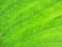 tła zielona liść tekstura Zdjęcie Royalty Free