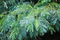 tła zielonego liść naturalna tekstura Obraz Royalty Free