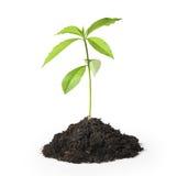 tła zielonej rośliny biel Obrazy Royalty Free