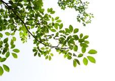 tła zielony liść biel Zdjęcie Stock
