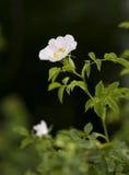 tła zmroku róża dzika Zdjęcie Royalty Free