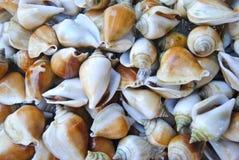 Tło świeża Psia koncha lub Skrzydłowy Shell dla sprzedaży przy rynkiem obrazy royalty free