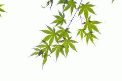 Tło świezi zieleni Japońscy liście klonowi w białym tle Zdjęcia Royalty Free