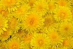 Tło żółci dandelions fotografia royalty free