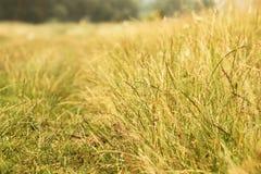 Tło żółci traw spikelets Obrazy Royalty Free