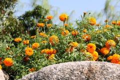 Tło żółty kwiat 53 i skała Zdjęcia Royalty Free