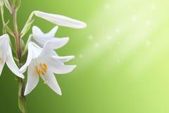 tło białe kwiaty Obraz Stock
