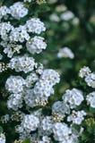 tło białe kwiaty Zdjęcia Royalty Free
