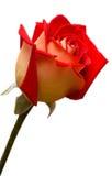 tło białe róże Obrazy Royalty Free