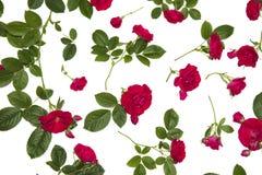tło białe róże Obraz Royalty Free