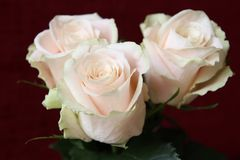 tło białe róże Natura, kwiaty, bukiet Obraz Stock
