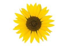 tło białe słonecznikowy Zdjęcie Royalty Free