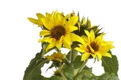 tło białe słonecznikowy zdjęcia stock