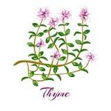 tło biel kwiatonośny ilustracyjny tymiankowy Tymiankowy ziele Obrazy Stock