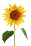 tło biel odosobniony słonecznikowy Obrazy Royalty Free