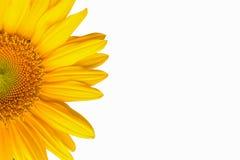 tło biel odosobniony słonecznikowy Zdjęcia Stock