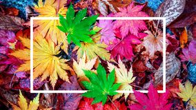Tło biel ramowi i kolorowi liście klonowi w jesieni Zdjęcie Stock