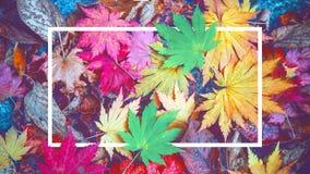 Tło biel ramowi i kolorowi liście klonowi w jesieni Zdjęcie Royalty Free