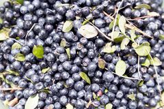 tło blueberry konsystencja świeżych owoców Tekstury czarnej jagody jagod zamknięty up obraz royalty free