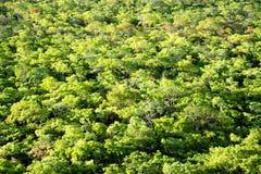 Tło - Brachystegia lasy Fotografia Royalty Free