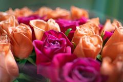 Tło brzoskwini i karmazynów róże Piękne koralowe róże, kwiatu bukiet zamknięty w górę Bukiet karmazyny i brzoskwini róże fotografia stock