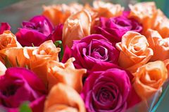 Tło brzoskwini i karmazynów róże Piękne koralowe róże, kwiatu bukiet zamknięty w górę Bukiet karmazyny i brzoskwini róże fotografia royalty free