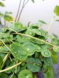 Tło, colse up strzelał wody kropla na zielonych liściach, Chińska pieniądze roślina po deszczu Fotografia Stock