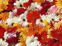 Tło czerwieni, koloru żółtego, menchii i białych kwiaty, Fotografia Royalty Free