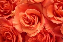 tło czerwone róże zdjęcie royalty free