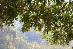 Tło dżungli plamy liście zieleni i Drzewne lasowe natur gałąź zielenieją obwieszenie z wierzchu wizerunku Obraz Royalty Free