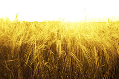 Tło dojrzenie ucho żółty pszeniczny pole na zmierzch pomarańcze Obraz Stock